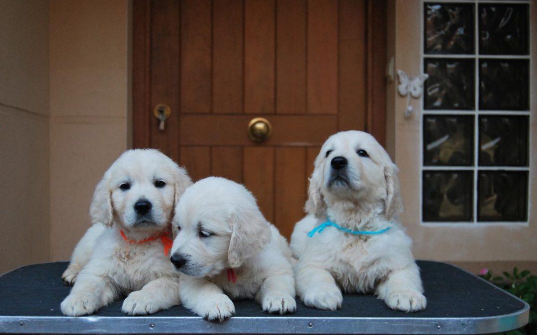Cachorros Gran Ayuda