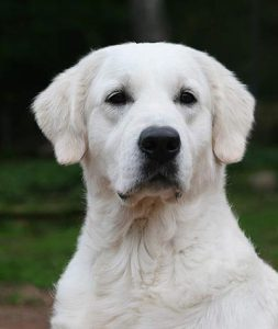 Romy, perro Golden de terapia asistida con animales en Huelva, Gran Ayuda