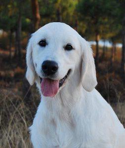 Zara, perro Golden de terapia asistida con animales en Huelva, Gran Ayuda